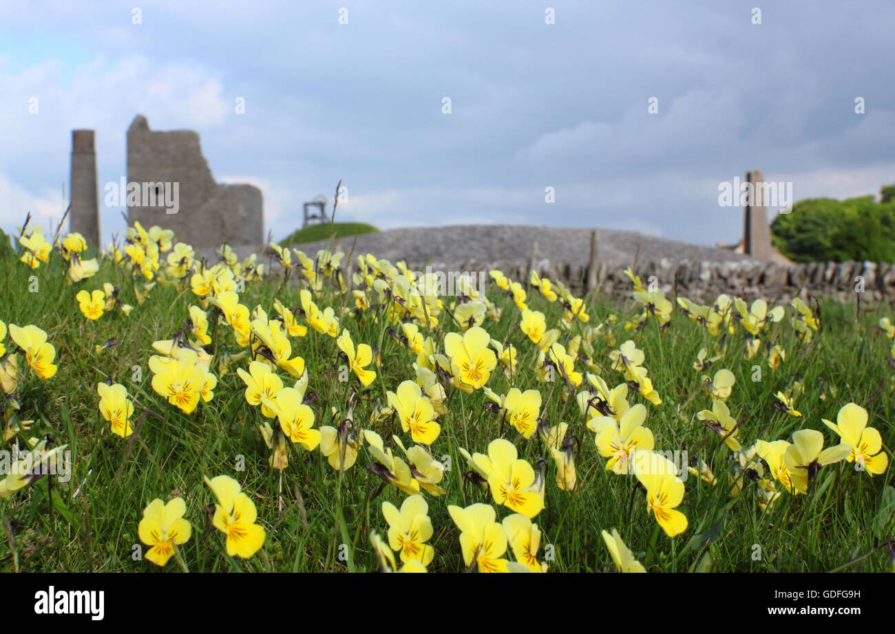Wild mountain pansies (viol lutea) flower at Magpie Mine; a former lead works in the Peak District National Park, - Stock Image