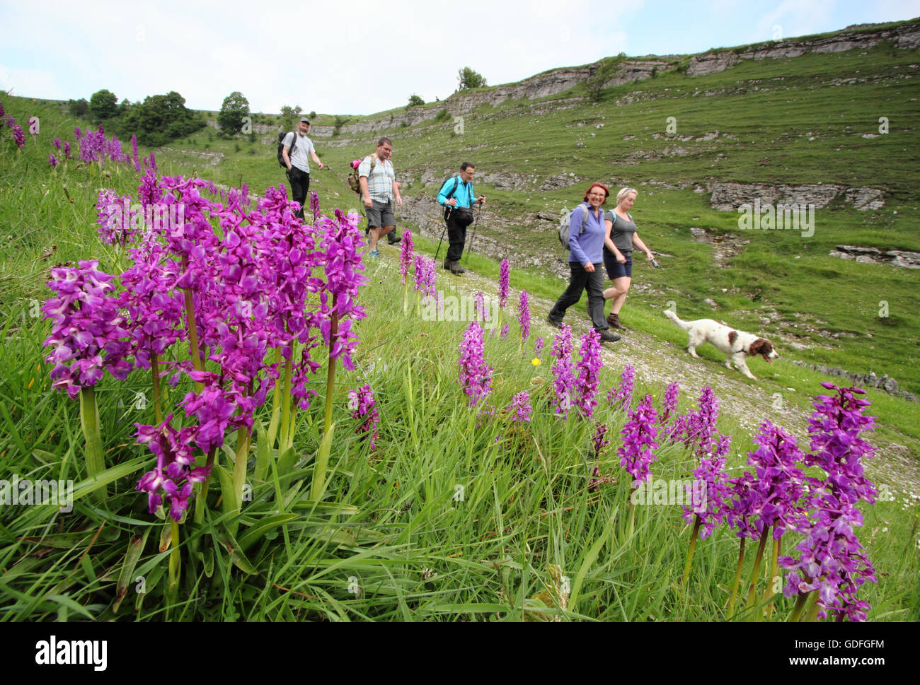 Walkers pass by wild orchids on a pretty route through Cressbrook Dale, Peak District, Derbyshire, UK on a warm - Stock Image