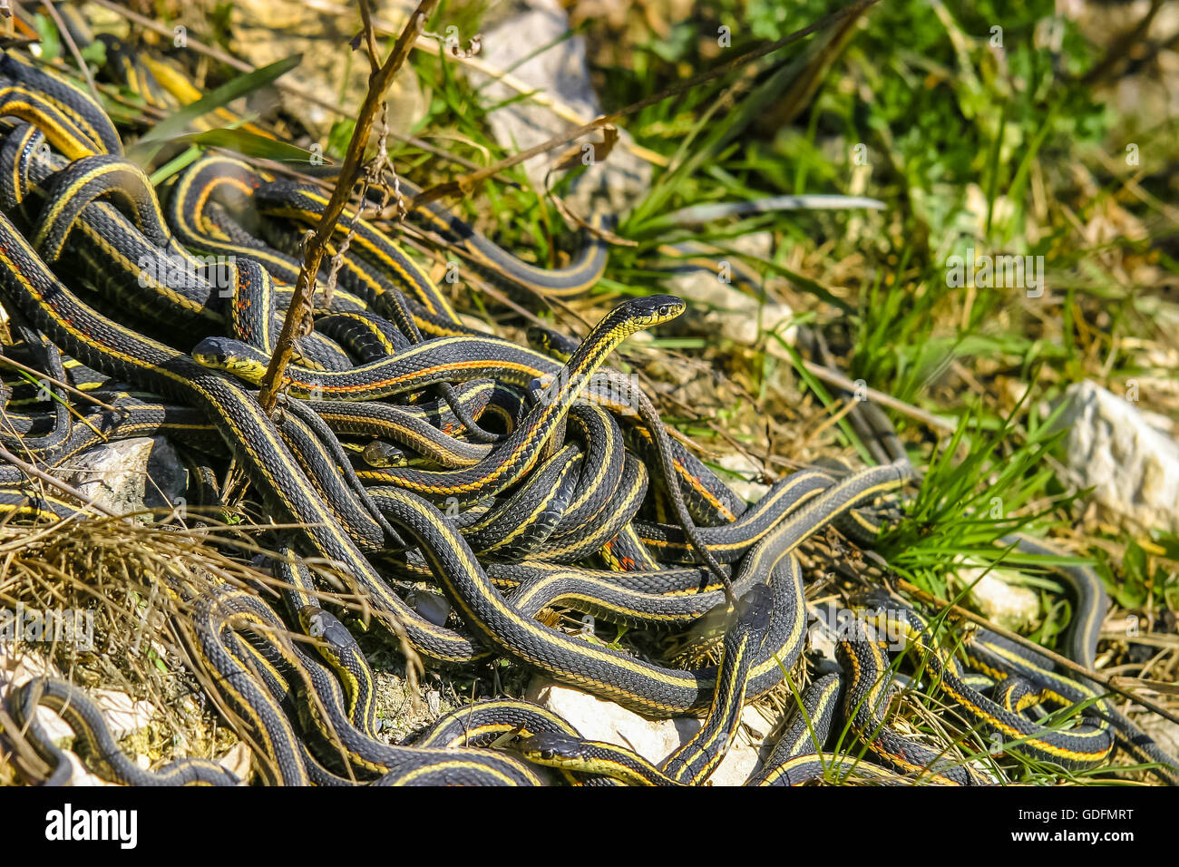 Male garter snakes looking for a mate in early spring Stock Photo