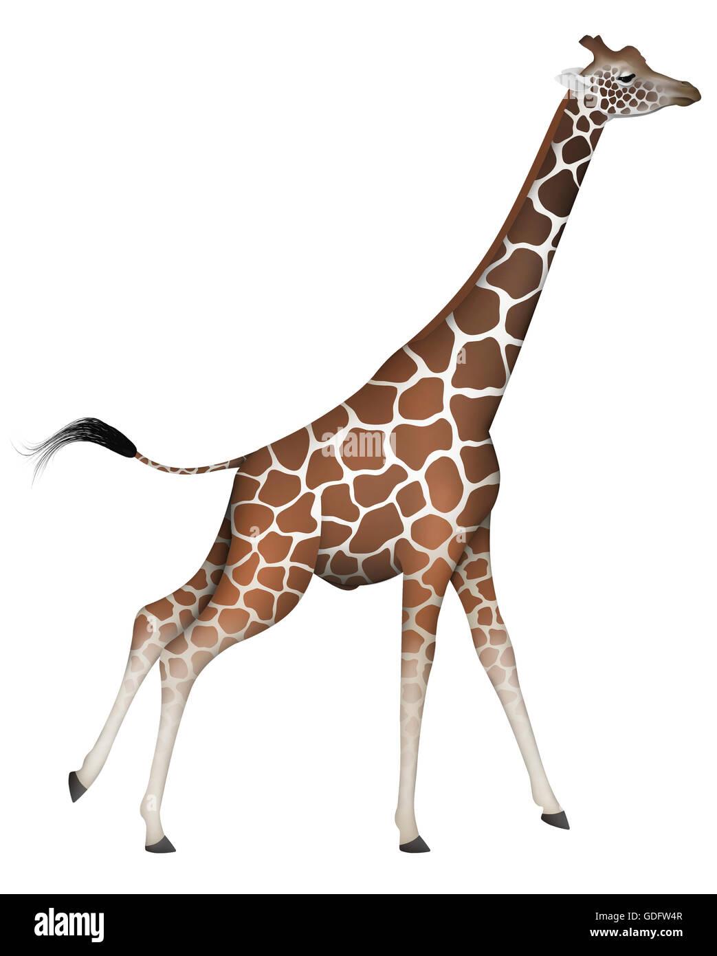 Reticulated Giraffe (Giraffa camelopardalis reticulata). Adult male. Stock Photo