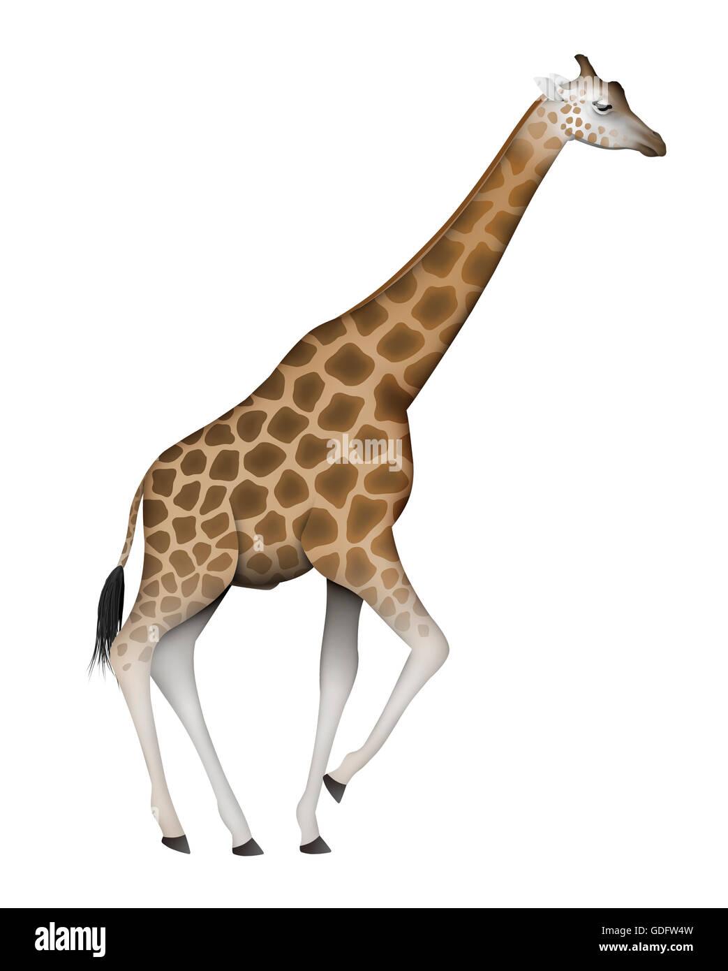 Rothschild Giraffe (Giraffa camelopardalis rothschildi). Adult male. The Rothschild Giraffe is resident in Kenya Stock Photo