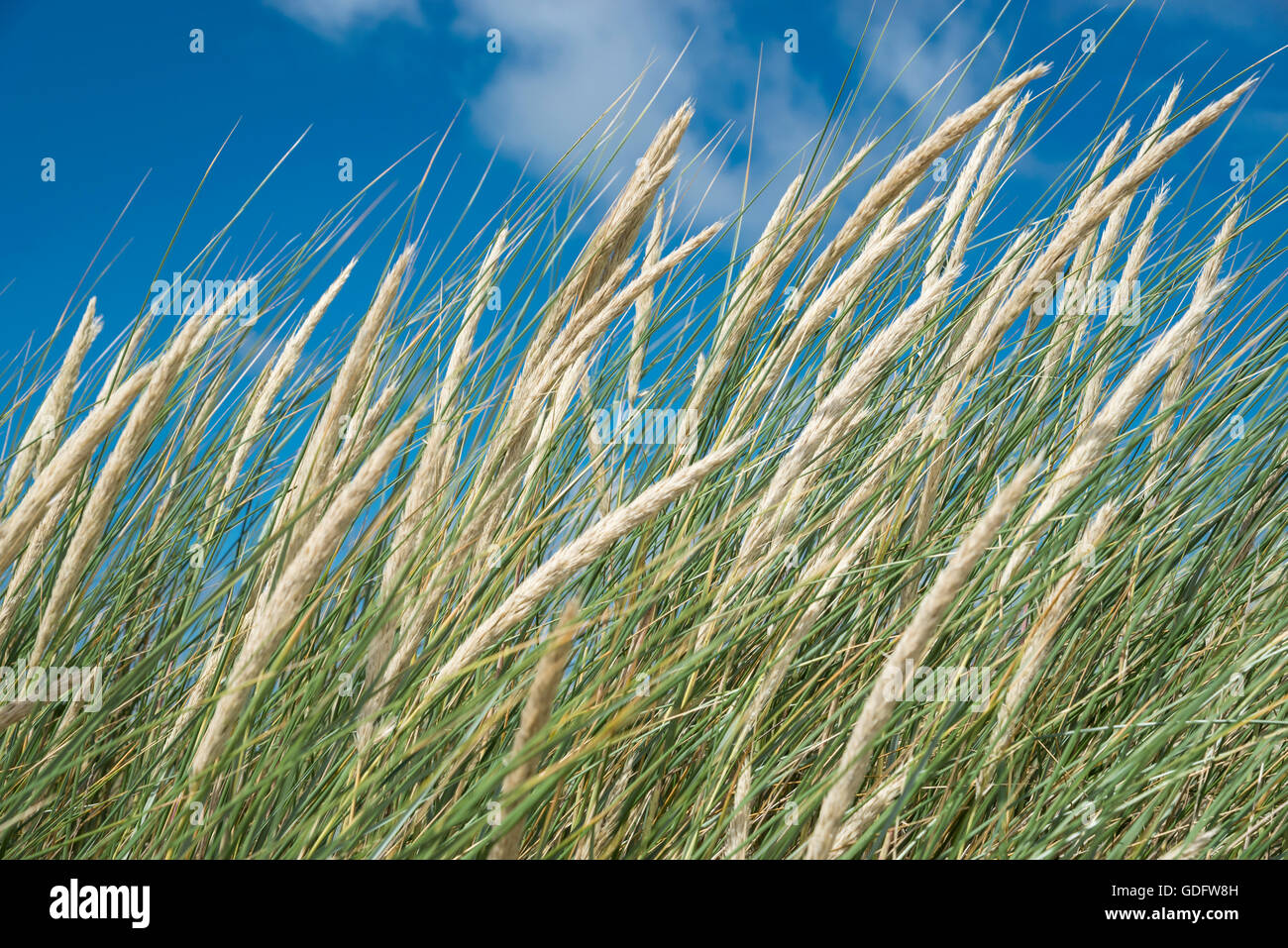 Close up of flowering dune grasses in bright sunshine. Taken at Formby point on the coast of northwest England. - Stock Image