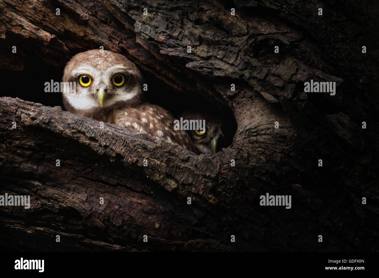 Two surprised Spotted Owls - Stock Image