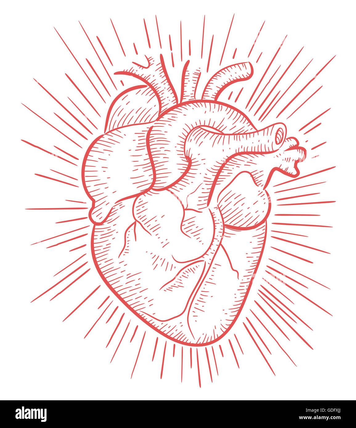 Hand Drawn Illustration Or Drawing Of A Human Heart Stock Photo