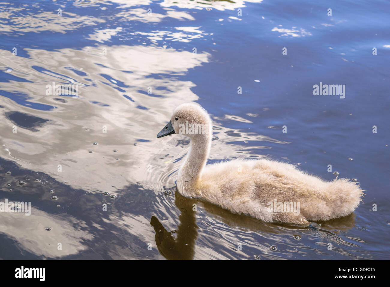 Grey baby swan swimming in a river in Exeter Stock Photo