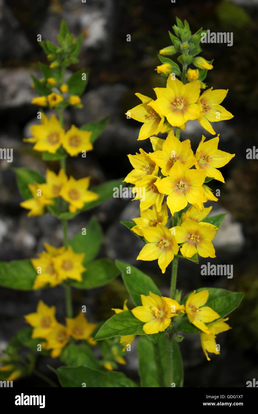 Yellow Loosestrife Lysimachia vulgaris Stock Photo