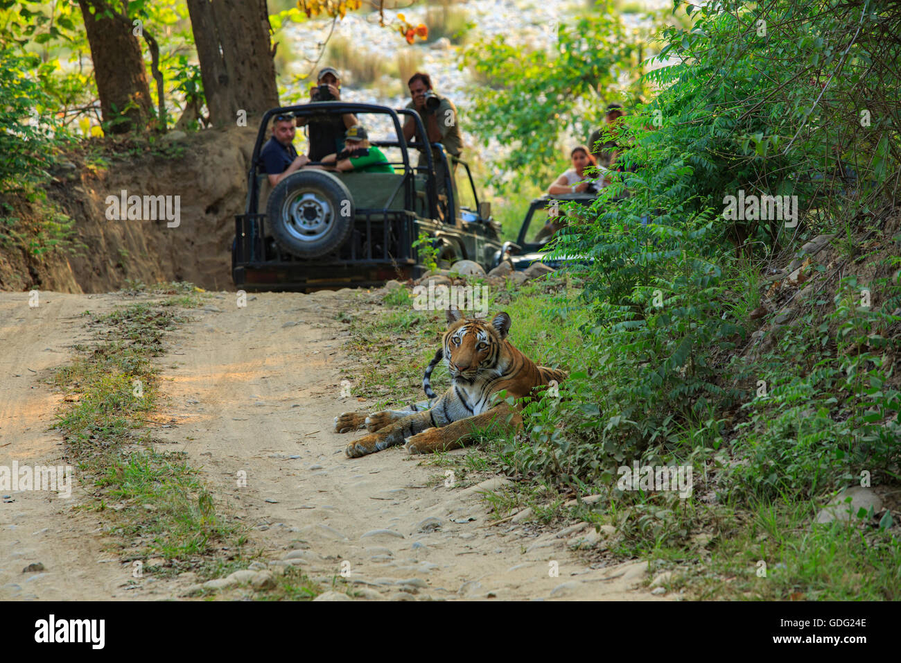 Bengal Tiger Sighting during safari (photographed at Corbett National Park - India) - Stock Image