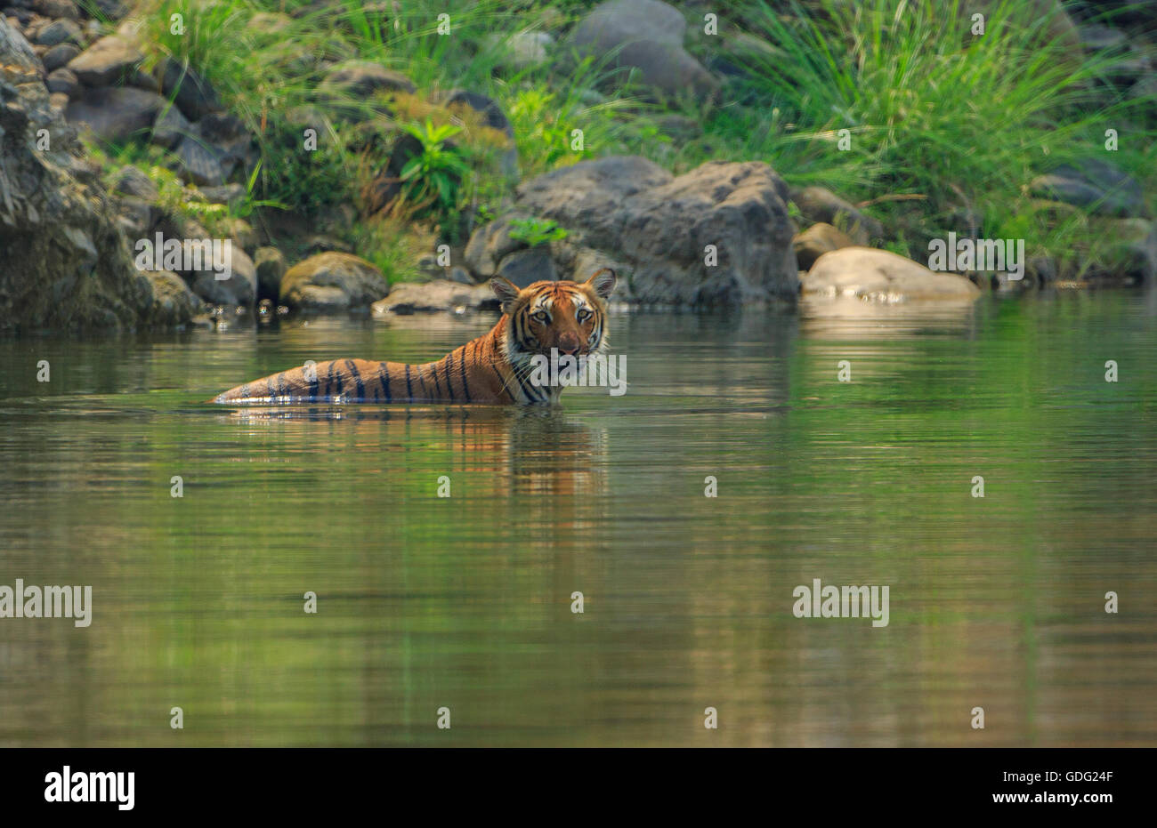Bengal Tiger cooling off in a natural pool (photographed at Corbett National Park, India) - Stock Image