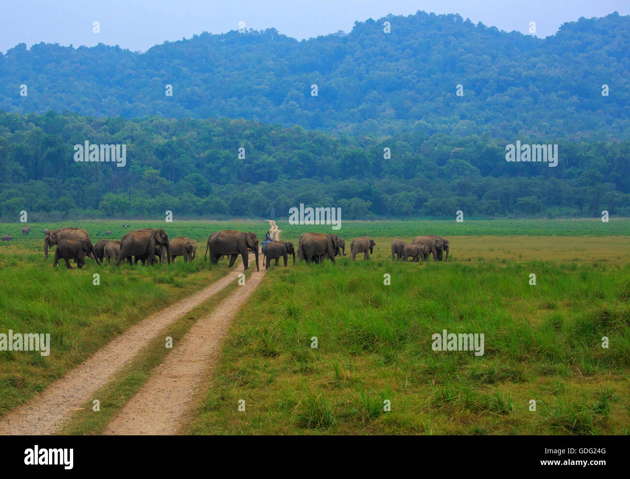 Elephant herd crossing the safari road (Photographed at Corbett National Park, India) - Stock Image
