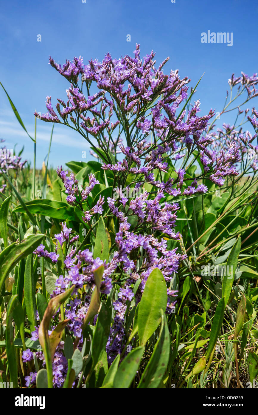 Zwinblomme / common sea-lavender (Limonium vulgare) in flower at saltmarsh in summer - Stock Image