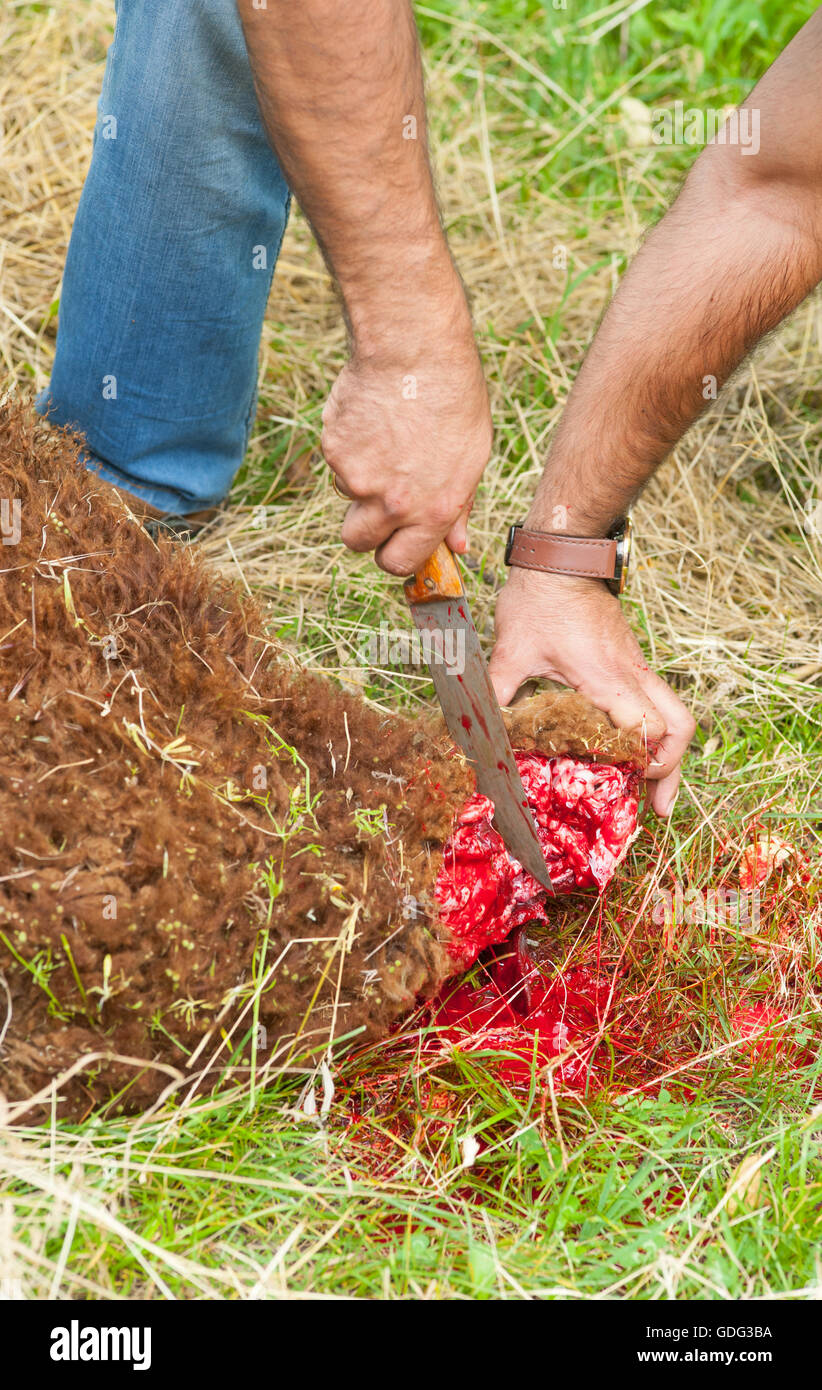 Sheep slaughtered by cutting its neck, according to islamic ritual slaughter (dhabihah). - Stock Image