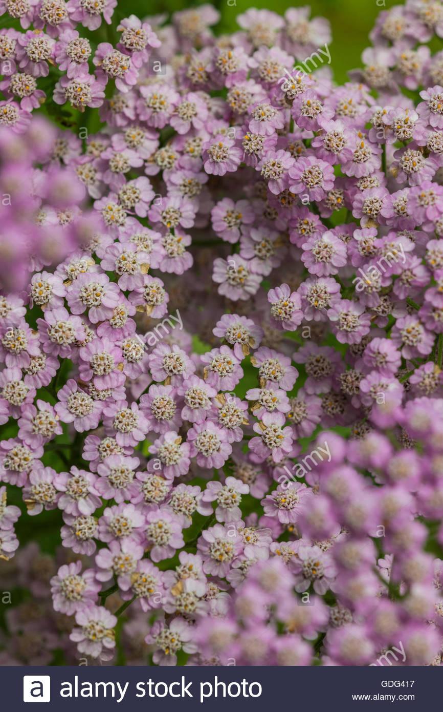 Achillea millefolium 'Lilac Beauty' - Stock Image