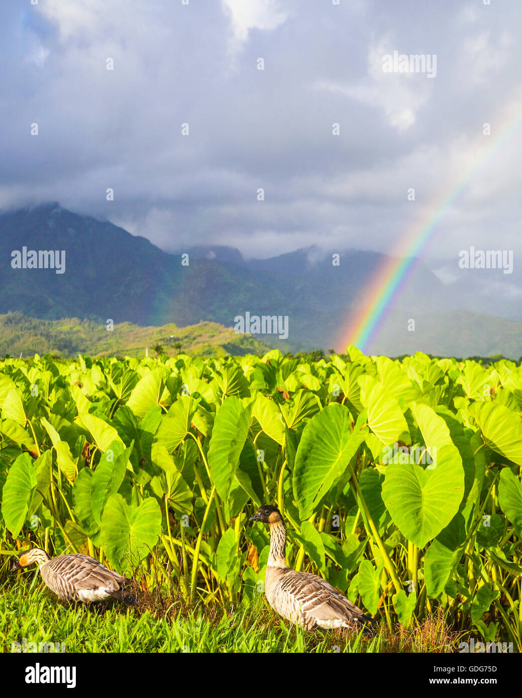 Nene by taro at the Hanalei National Wildlife Refuge on Kauai, with double rainbows in distance - Stock Image