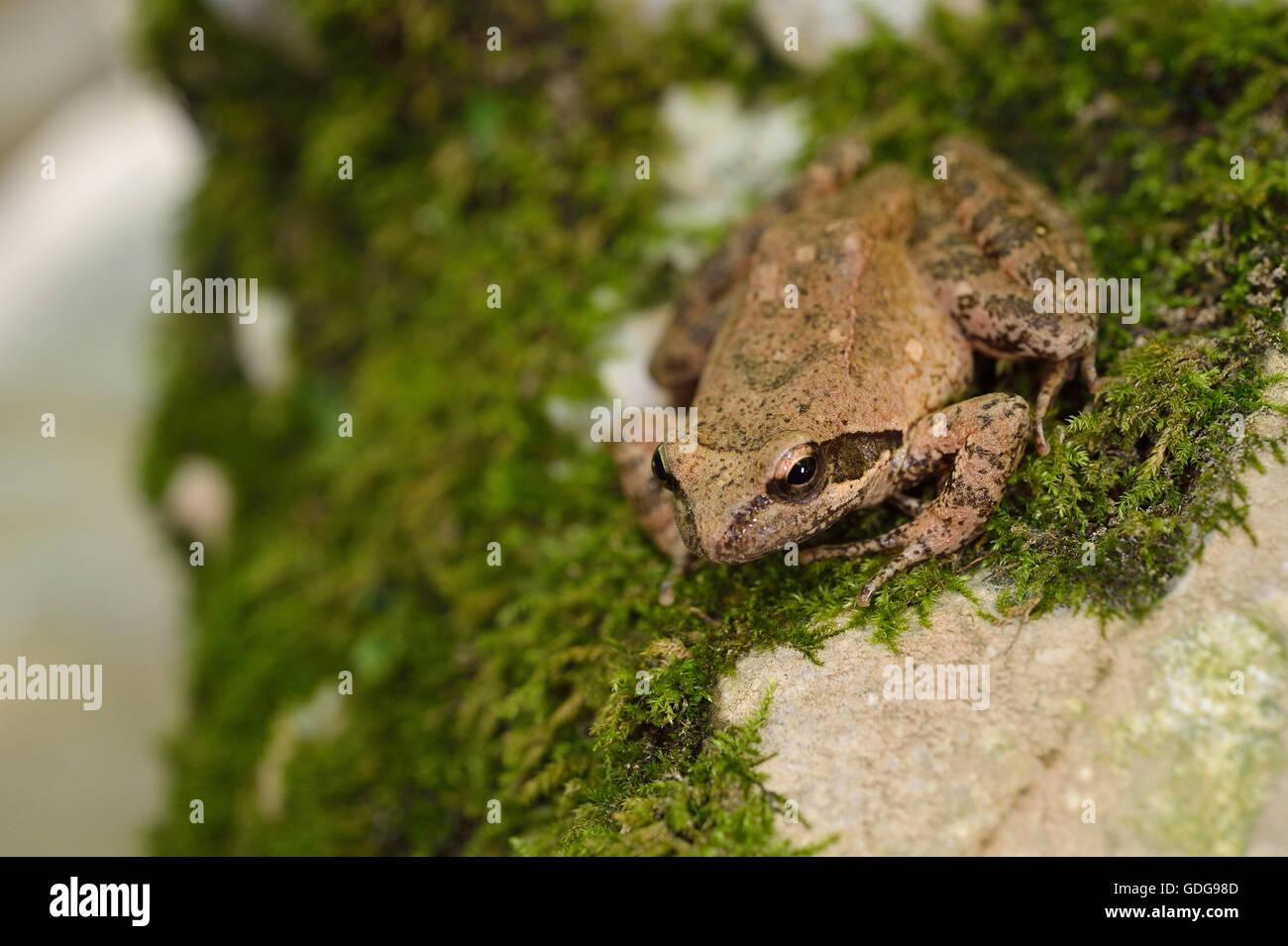 Italian stream frog, Rana italica, Ranidae, Subiaco, River Aniene Valley, Lazio, Italy - Stock Image