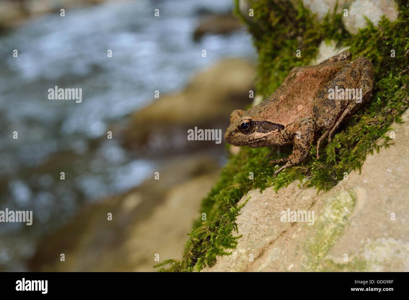 Agile frog, Rana dalmatina, Ranidae, Subiaco, River Aniene Valley, Lazio, Italy - Stock Image