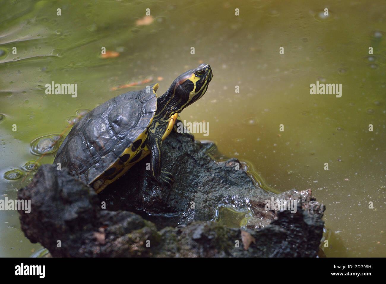 Yellow-bellied slider, Trachemys scripta scripta, Emydidae, Lazio, Italy  aquatic turtle turtles Roberto Nistri - Stock Image