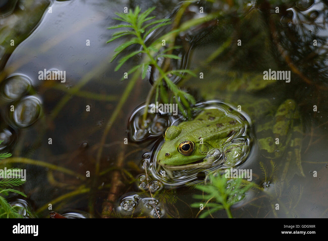 Edible frog, Pelophylax esculentus, Ranidae, Formello, Lazio, Rome, Italy - Stock Image