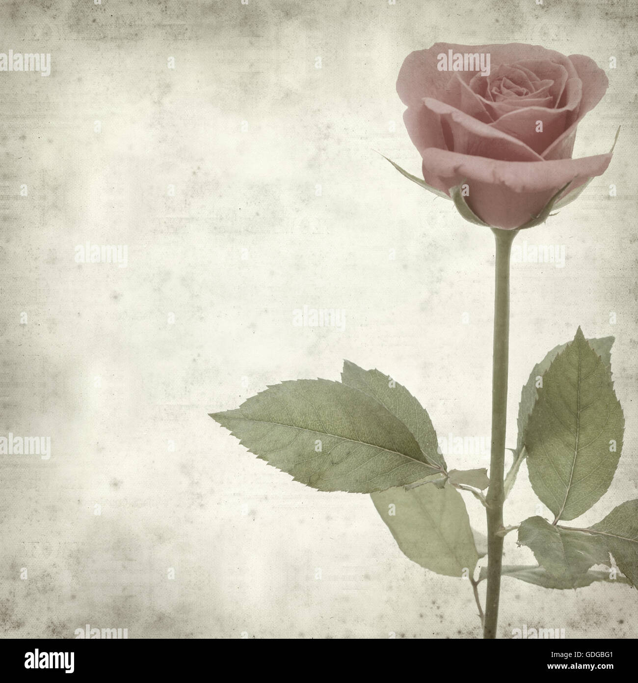 textured old paper background with pink rose Stock Photo