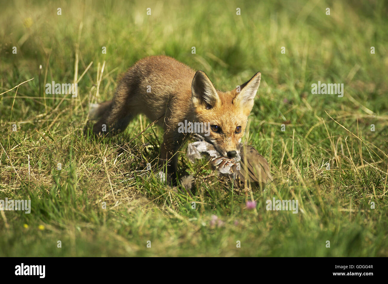 Red Fox, vulpes vulpes, Cub killing a Partridge, Normandy - Stock Image