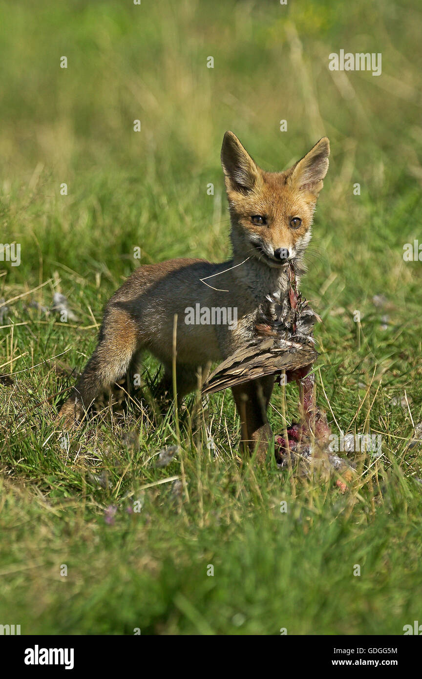 Red Fox, vulpes vulpes, Adult killing a Partridge, Normandy - Stock Image