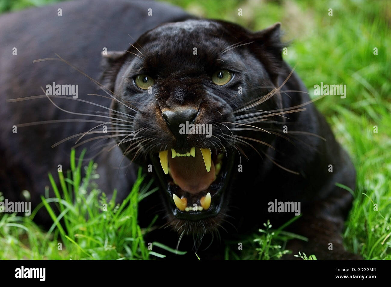 Black Panther Panthera Pardus Adult Snarling In