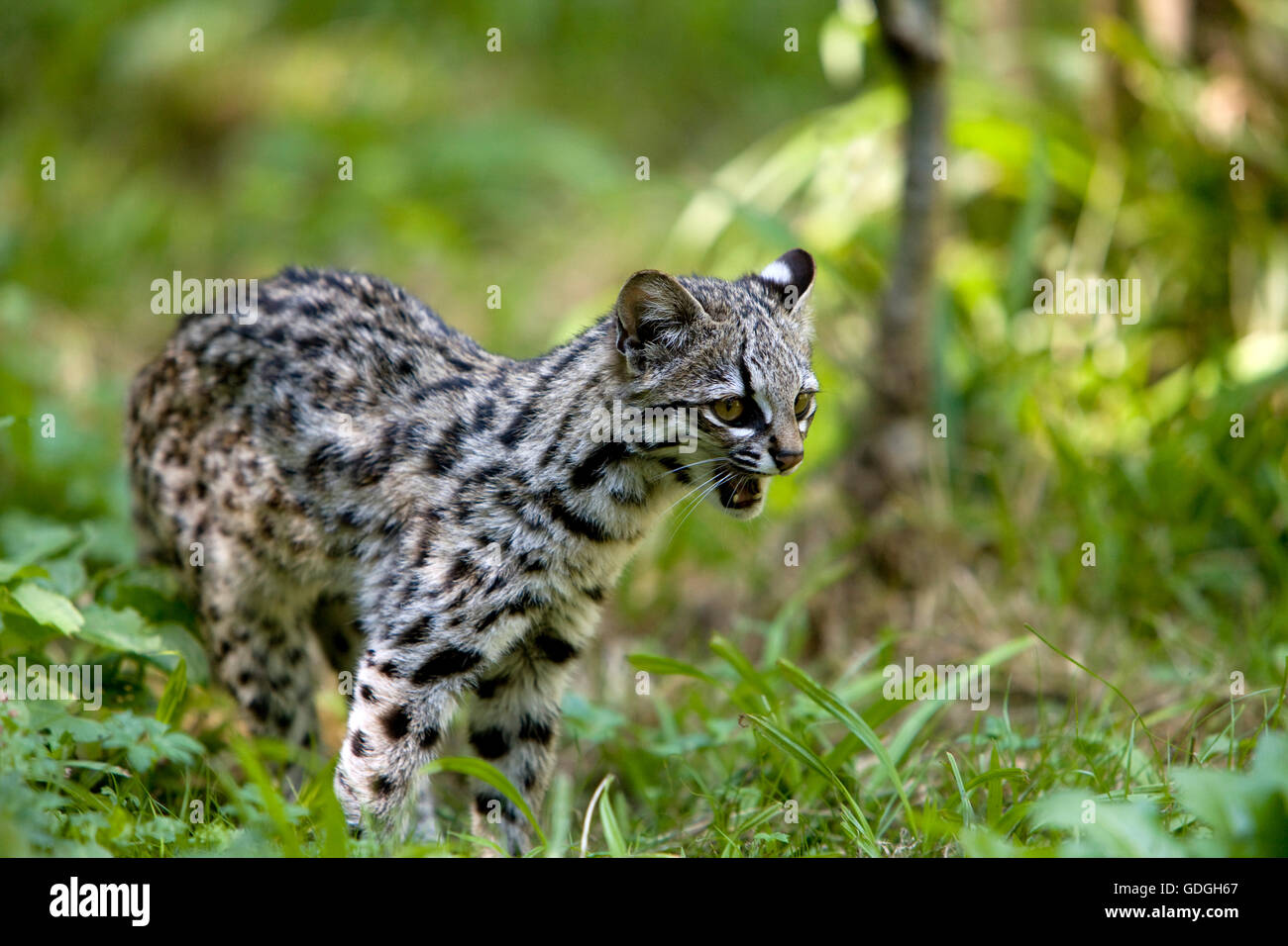 Tiger Cat or Oncilla, leopardus tigrinus, Snarling - Stock Image