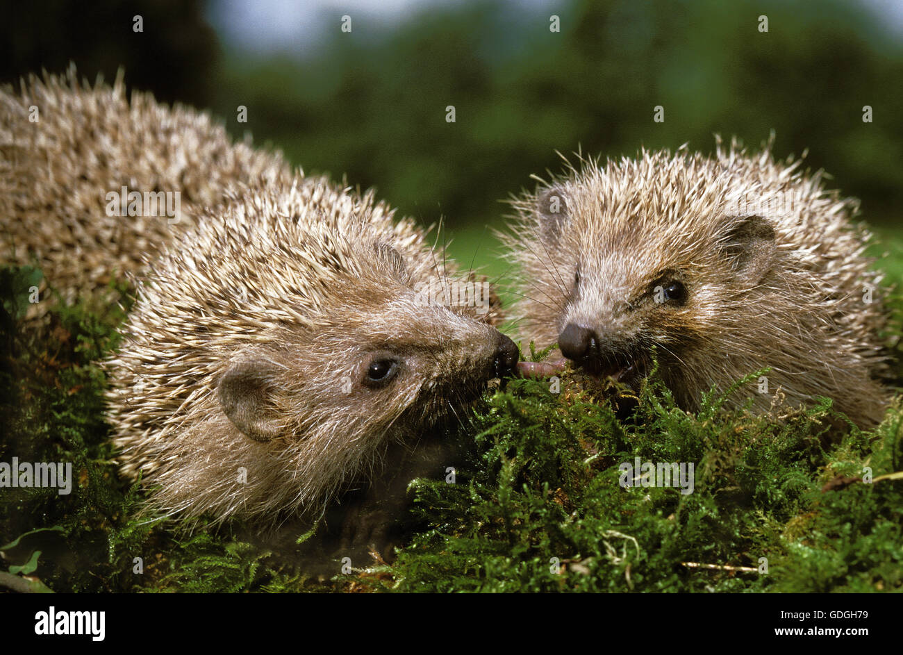 European Hedgehog, erinaceus europaeus, Normandy - Stock Image