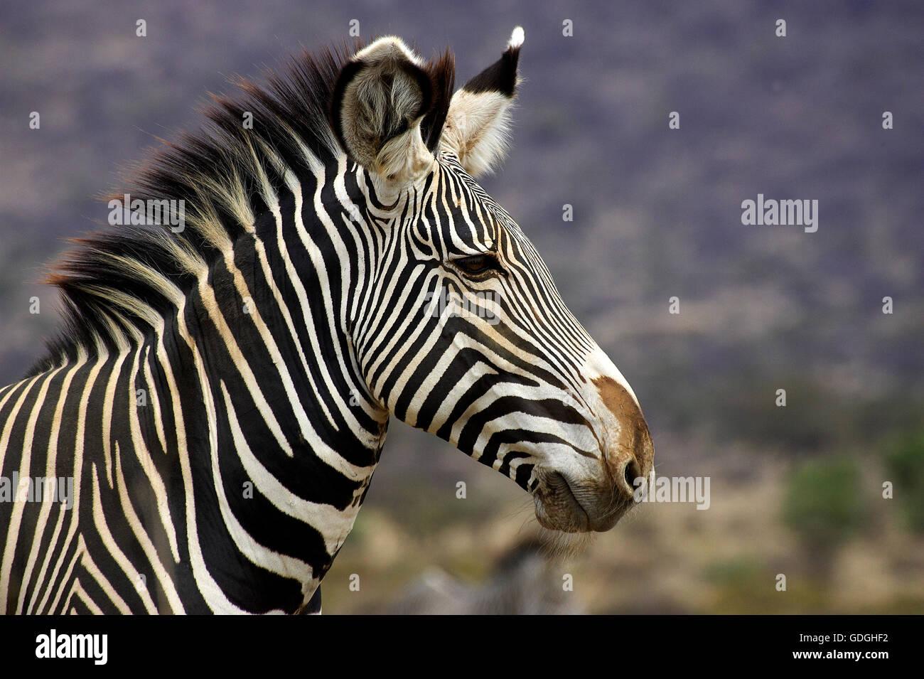 Grevy's Zebra, equus grevyi, Portrait of Adult, Samburu Park in Kenya Stock Photo
