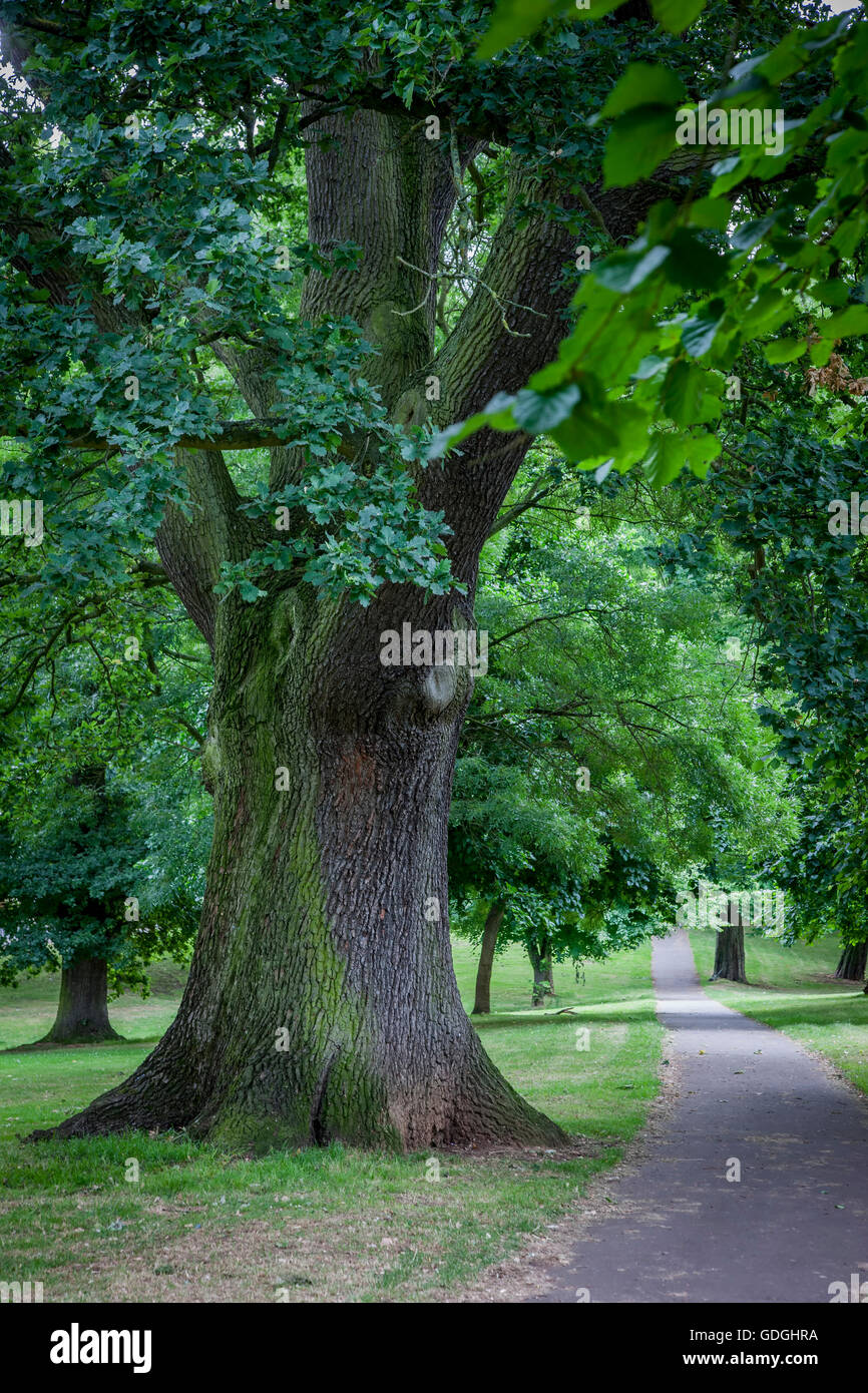 Trunk of a Oak. Quercus ropbur (Fagaceae) Abington Park, Northampton - Stock Image
