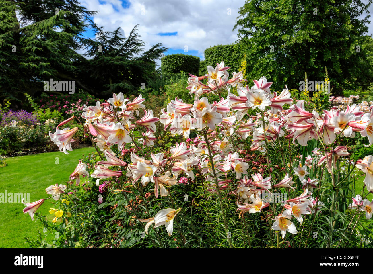 Tall flowering lily plants in a herbaceous border of an English garden. - Stock Image