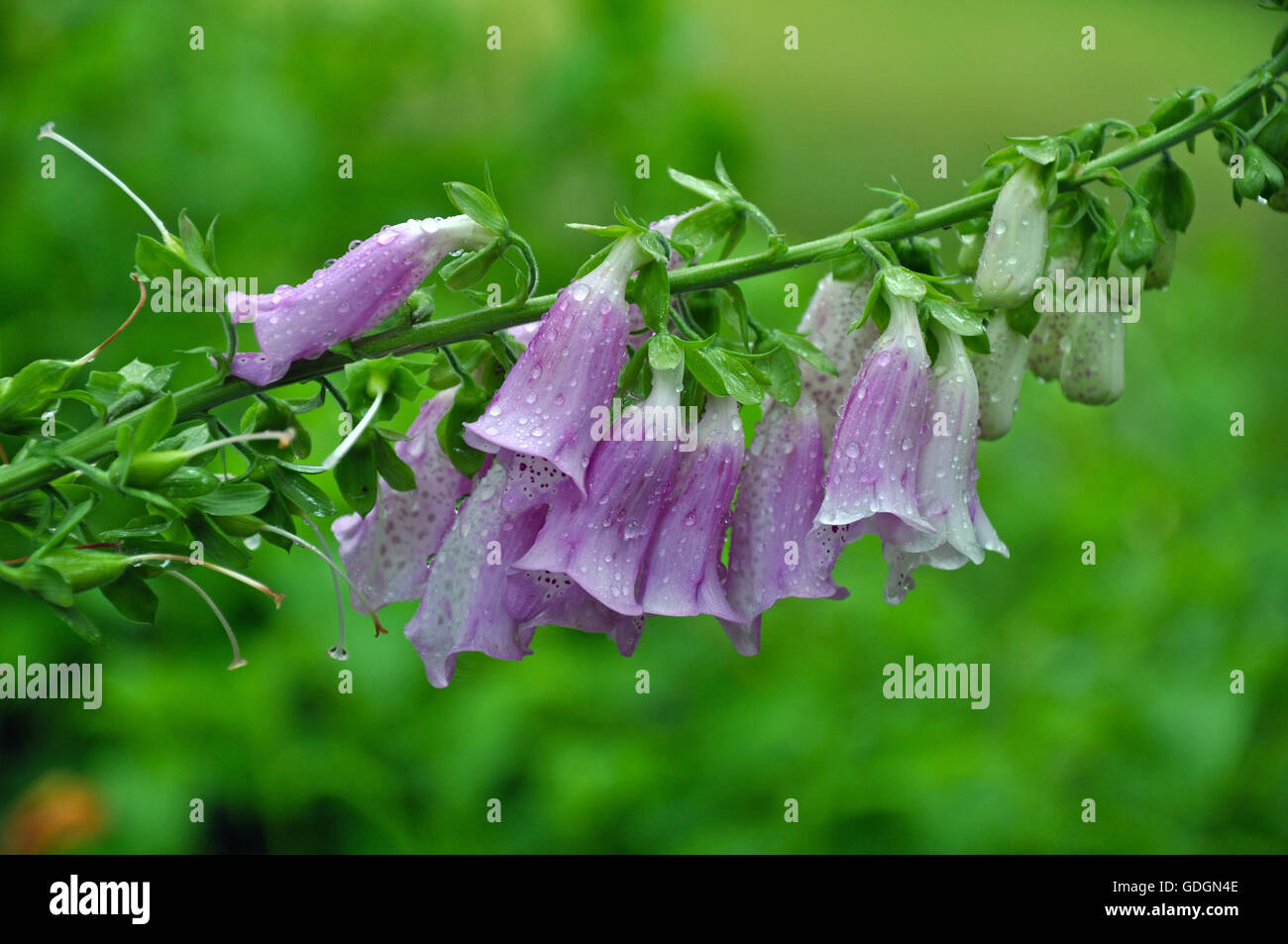 Flowers With Raindrops Stock Photos Flowers With Raindrops Stock