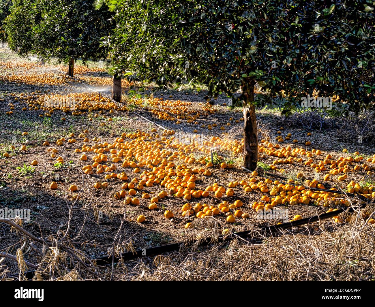 Orange groves in Cyprus which have been harvested to perish and then the farmer is paid out by the EU. - Stock Image