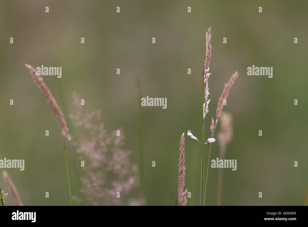 Detail of a grass meadow with tall grass and an out of focus background of muted tones - Stock Image