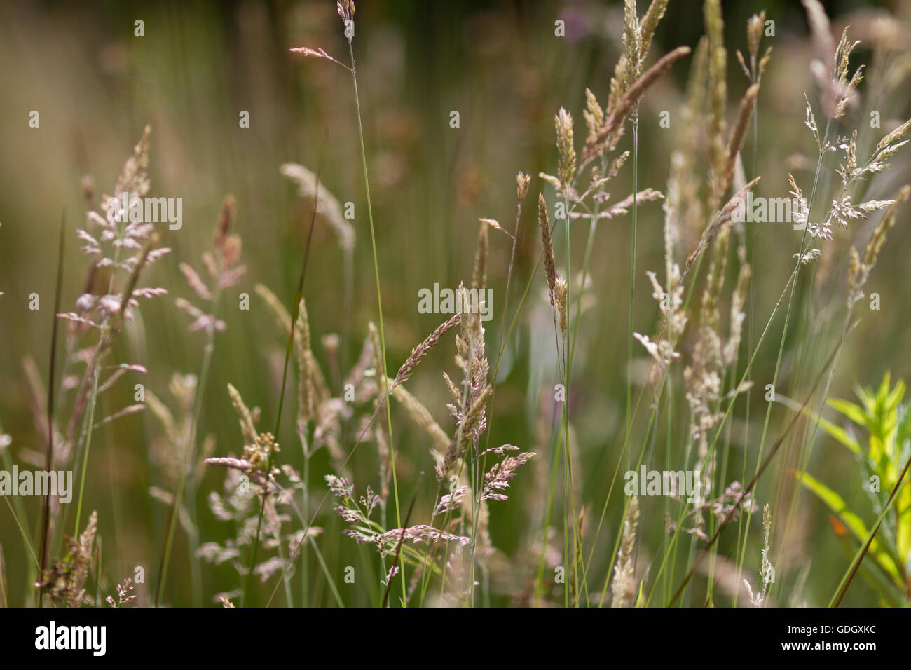 Grasses with seeds creating a natural background of a nature meadow with muted tones and colours. - Stock Image