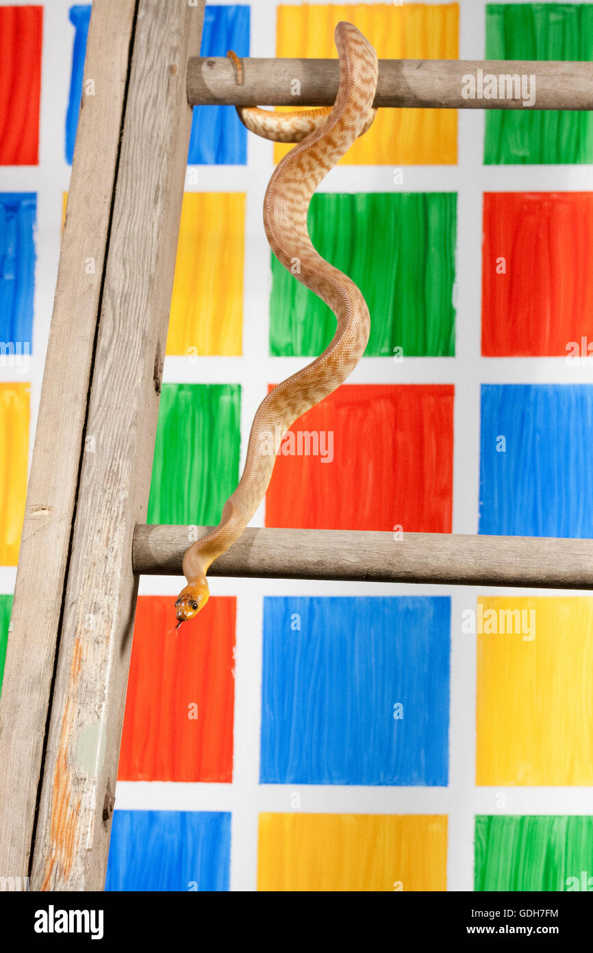Woma Python Climbing Down Ladder Against Coloured Game Squares
