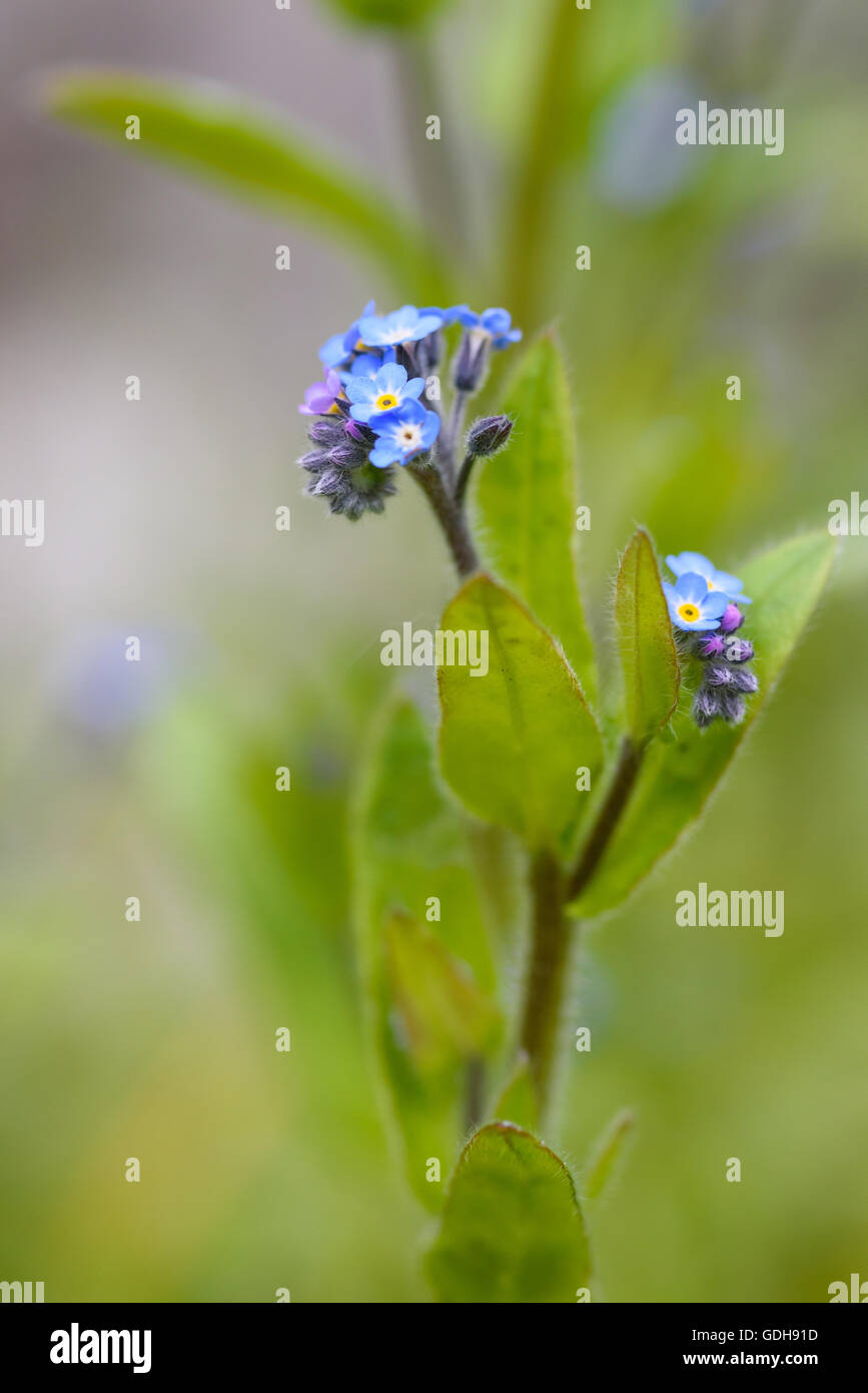 Field Forget-me-not, Myosotis arvensis, wildflower, Dumfries & Galloway, Scotland Stock Photo