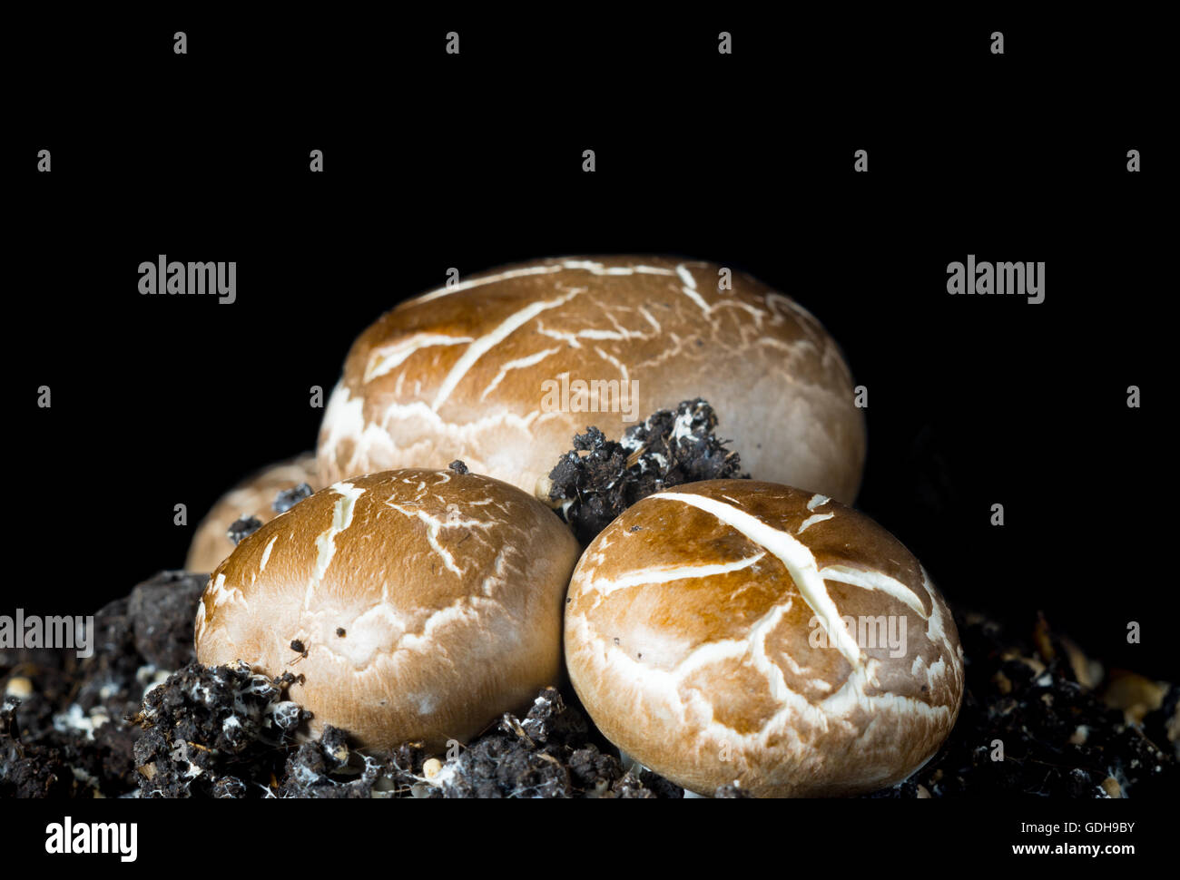 Growing mushrooms champignons - Stock Image