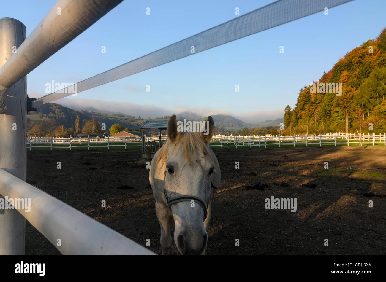 Kirchberg an der Pielach: Horse, equestrian farm, Austria, Niederösterreich, Lower Austria, Mostviertel - Stock Image