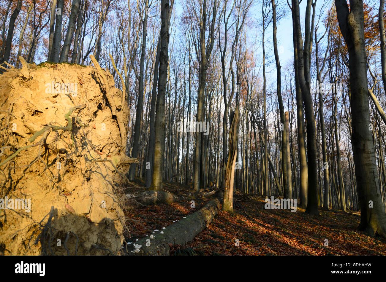 Mauerbach: primeval Forest with fallen trees, Austria, Niederösterreich, Lower Austria, Wienerwald, Vienna - Stock Image