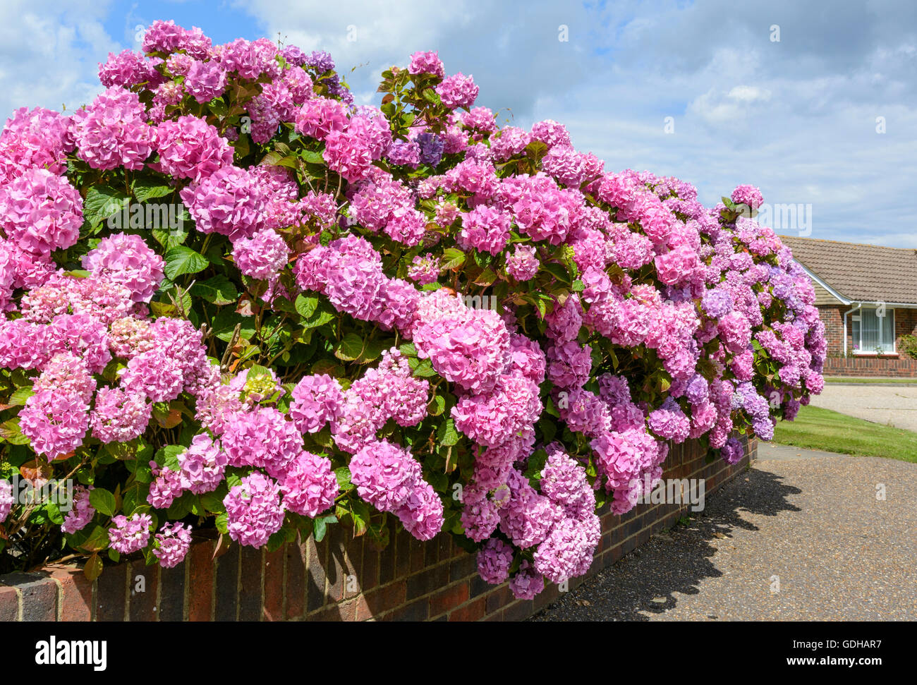Bush of pink Bigleaf hydrangea (Hydrangea macrophylla) flowers growing in Summer in the UK. - Stock Image