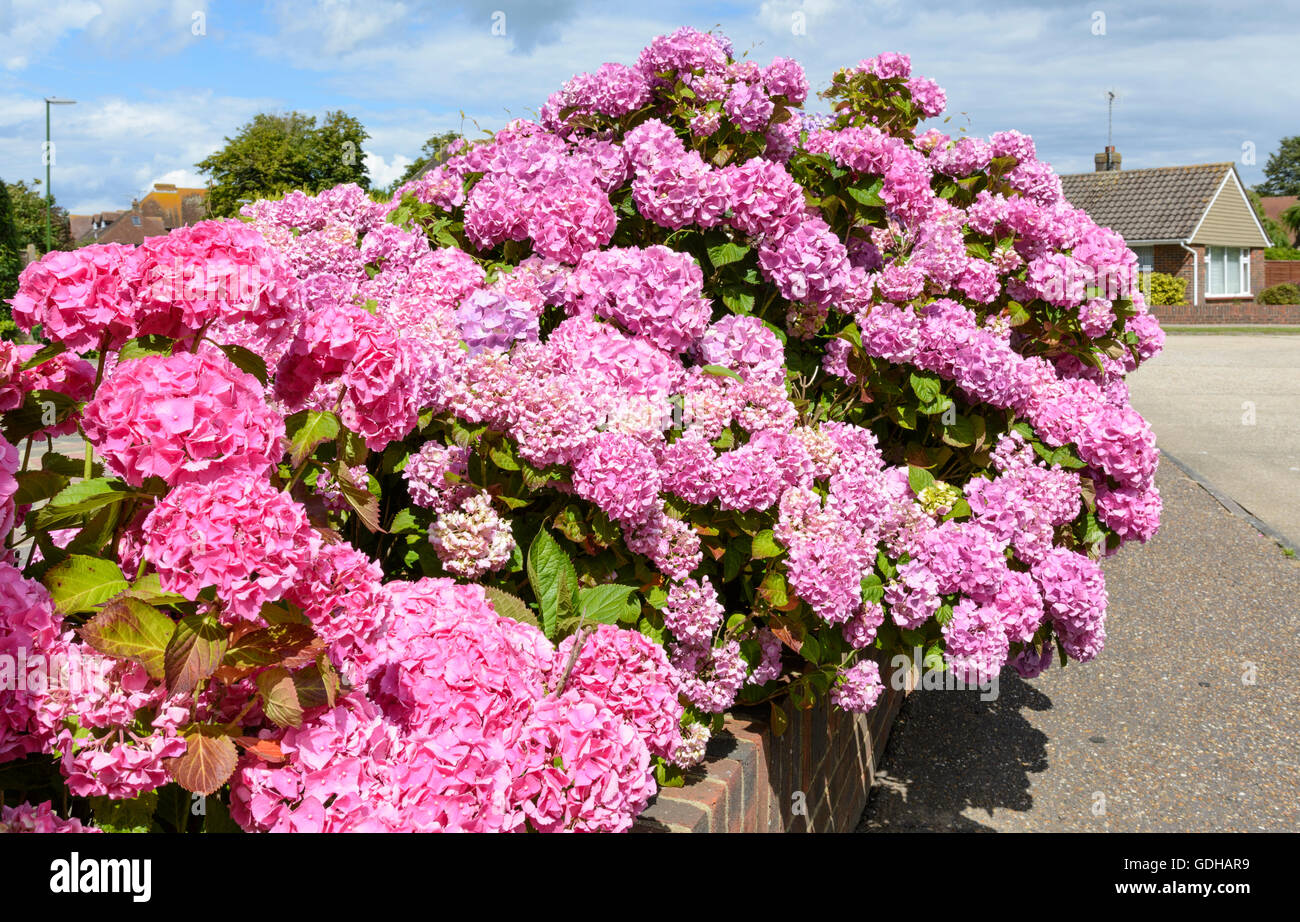 Pink Bigleaf Hydrangeas (Hydrangea macrophylla) growing in Summer in the UK. - Stock Image