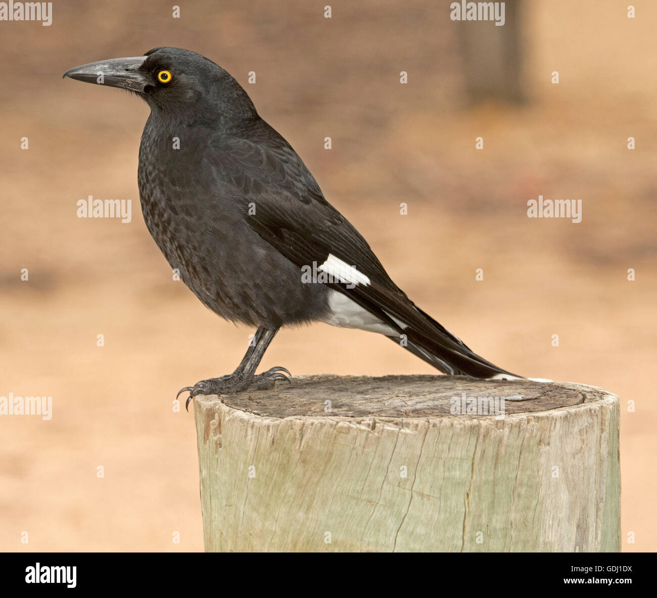 Black & white Australian pied currawong Strepera graculina with vivid yellow eye perched on wooden post against - Stock Image