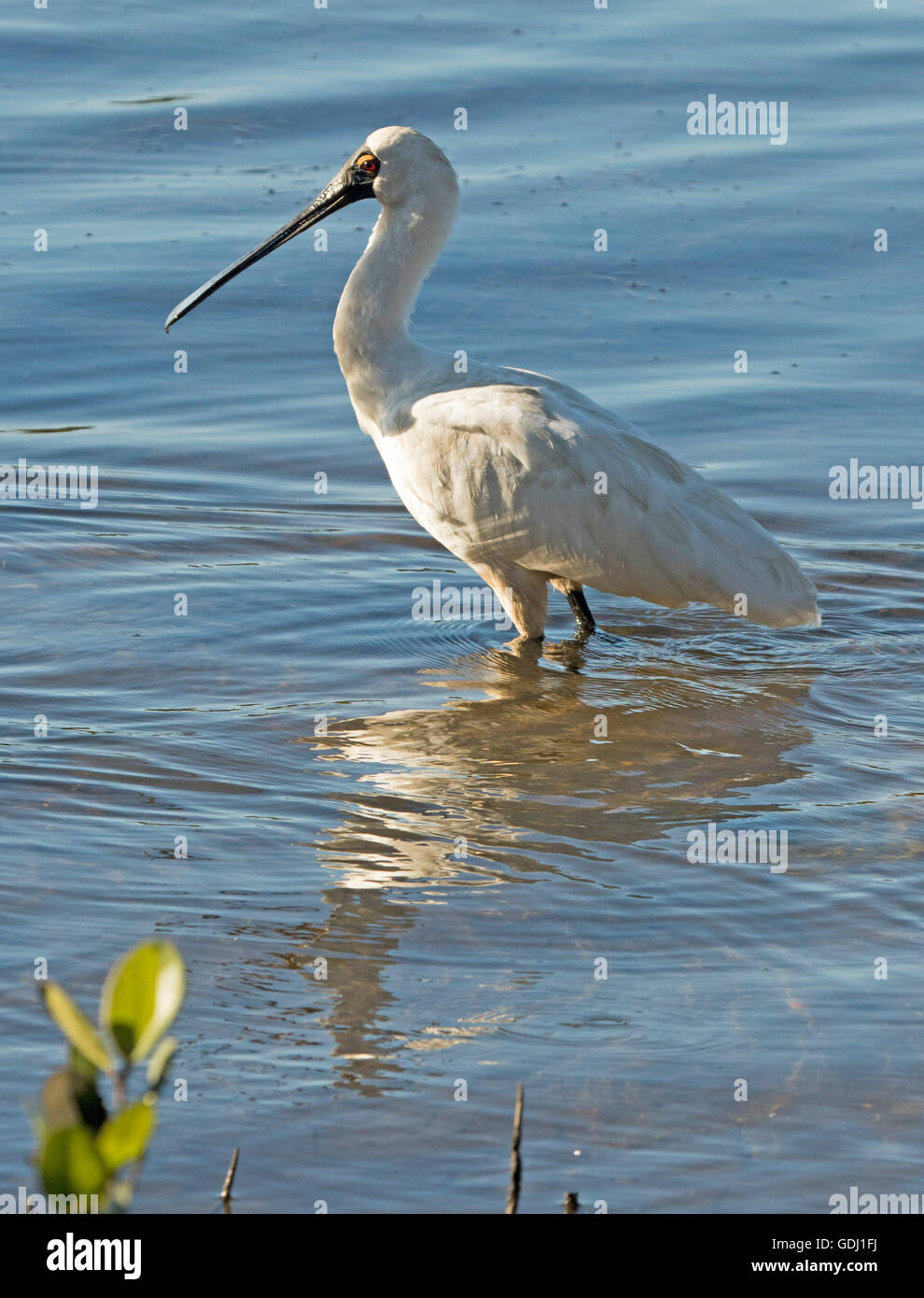 Royal spoonbill Platalea regia with unique bill wading & reflected in mirror surface of blue water of ocean - Stock Image