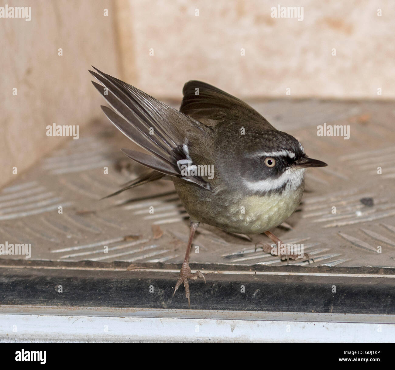 Attractive white-browed scrubwren Sericornus frontalis with bright eye and wing outstretched on step of campervan - Stock Image