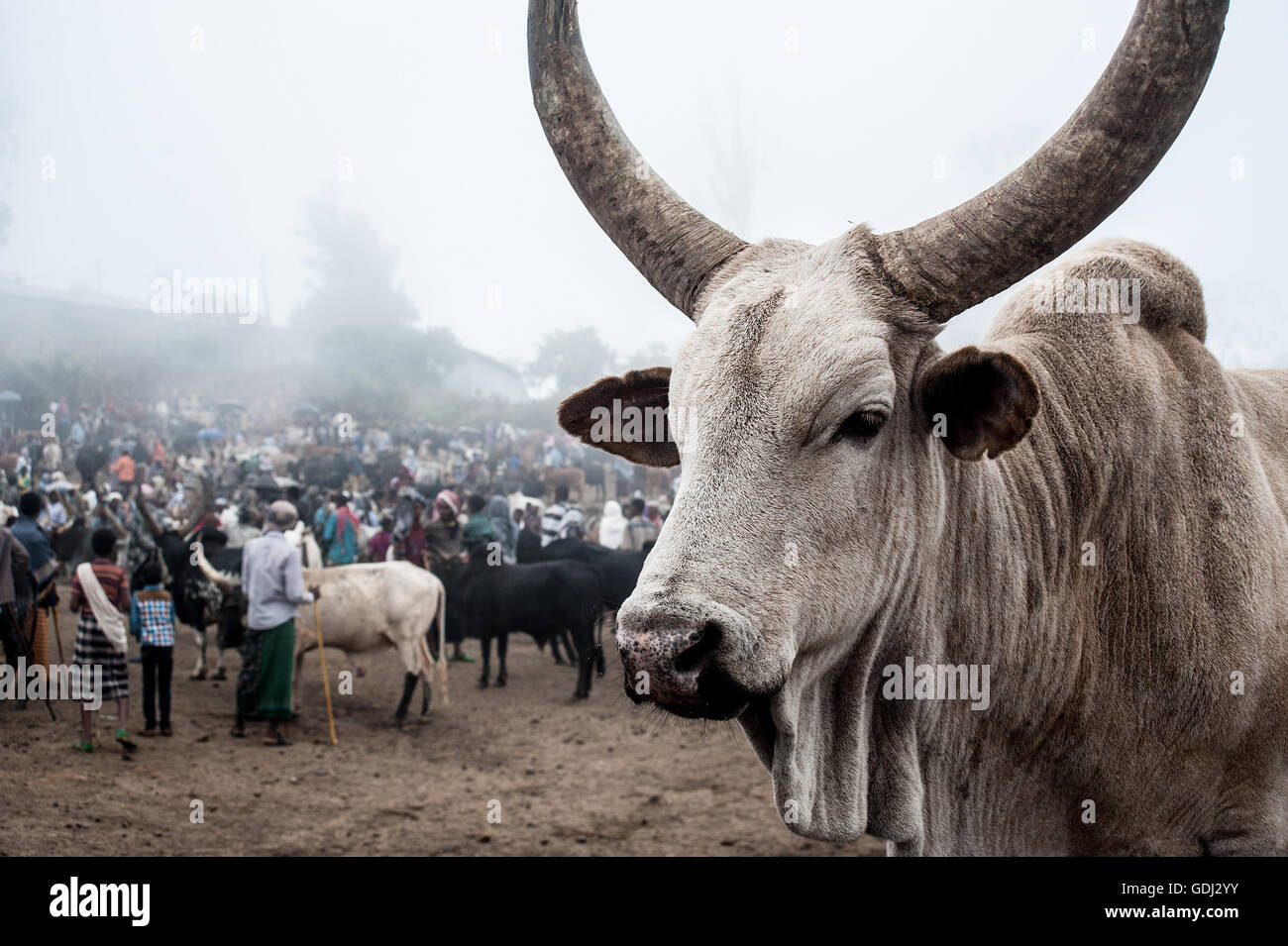 Ox on sale at the weekly market at Bati ( Ethiopia) - Stock Image
