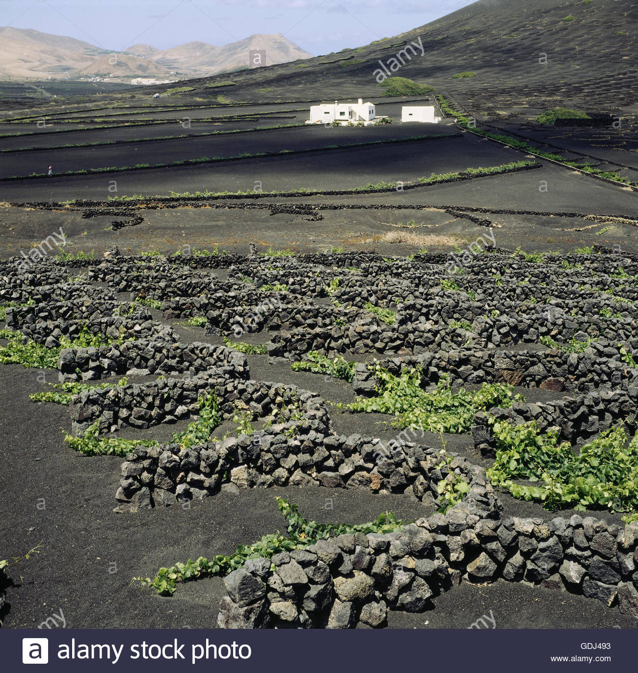 geography / travel, Spain, Canary Islands, Lanzarote, Geria, grape vine in dry farming, in volcanic ash, bei Geria, - Stock Image