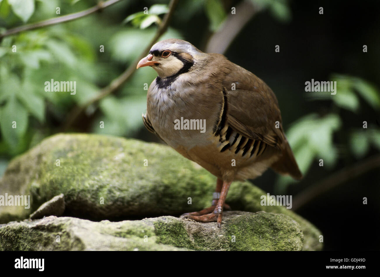 zoology / animals, avian / birds, Rock Partridge, (Alectoris graeca), standing on rock, distribution: Europe, - Stock Image