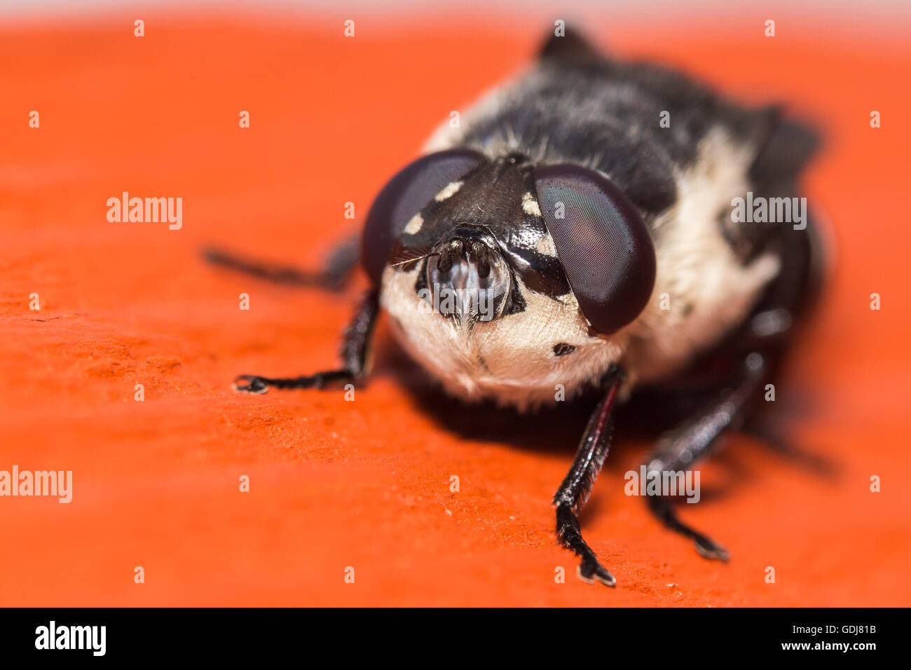 Narcissus Bulb Fly - Merodon equestris Stock Photo