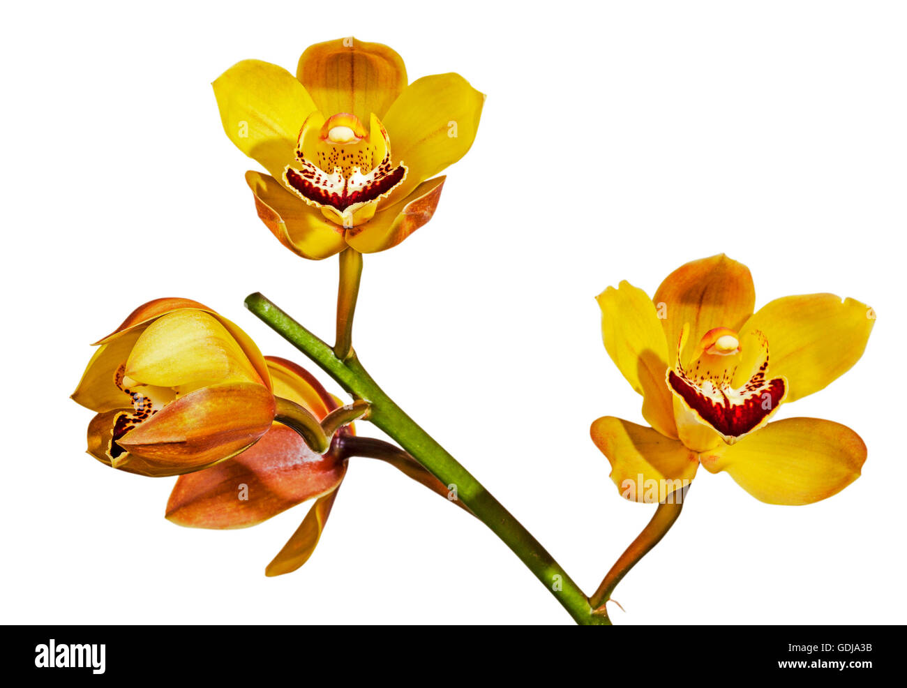 Studio shot stem of yellow and magenta cymbidium orchid flowers in various stages of opening on white, background - Stock Image