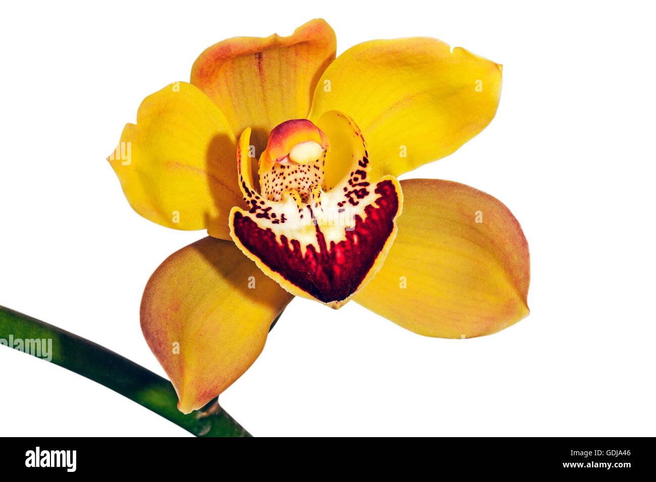 Studio shot of isolated single yellow and magenta cymbidium orchid flower on green stem on white - Stock Image